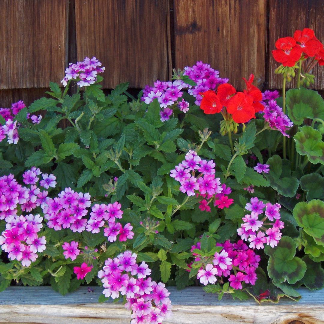 Bloemen zomerbloeiers